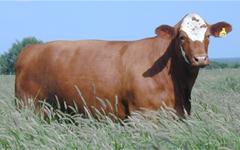 beefmaster bulls craigslist